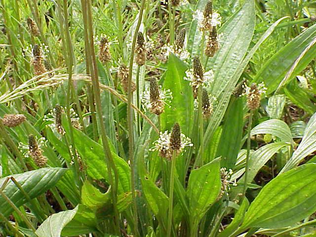 plantago-plantain