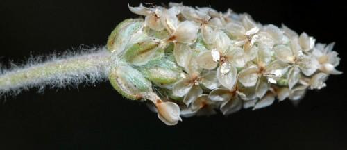 plantago_ovata_psyillium