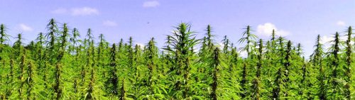 cbd-cannabis-oil_plants