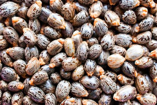 castor-seeds